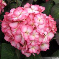 hydrangea-macrophylla-mirai-fleur-600×450
